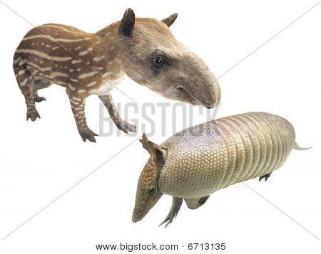 Armadillo And Tapir