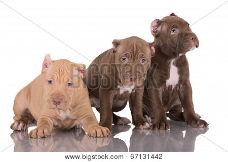 adorable pit bull terrier puppies