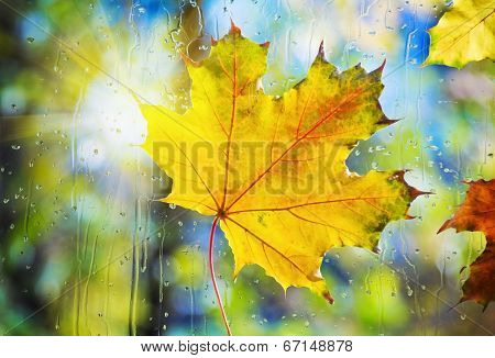 Autumn Leaves On Wet From Rain Glass