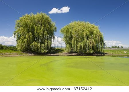 Green Swamp And Trees.