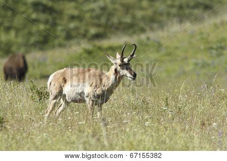 Antelope Walking In Grass.
