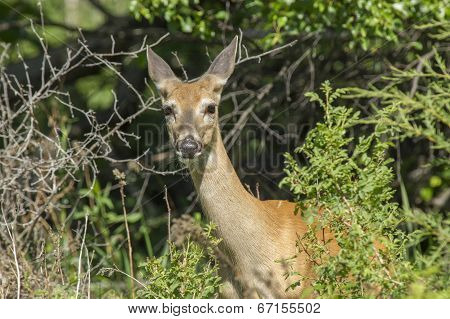 Whitetail Deer In Brush.