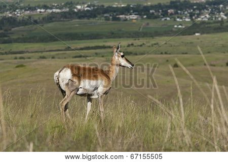Antelope On Hill.