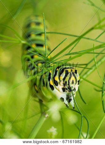 Closeup of a Black Swallowtail caterpillar feasting on dill