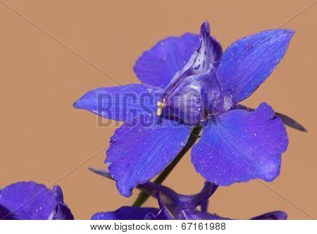 Closeup of a deep purple Larkspur flower