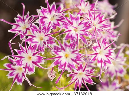 Beautiful pink and white star Phlox, with star shaped flowers