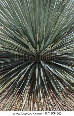 Yucca Dasylirion