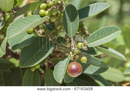 Coffee Berry Bush