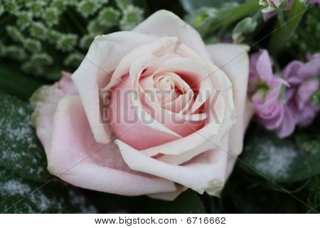 Solitaire Pale Pink Snow Rose