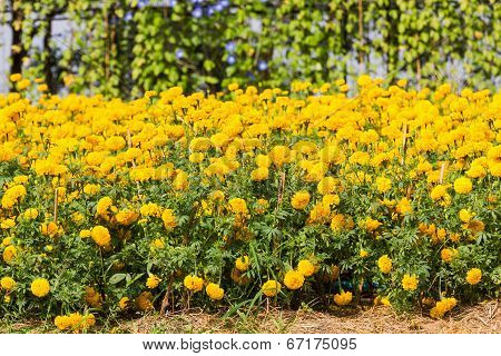 Marigolds Plant