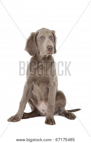 Portrait Of Longhaired Weimaraner Puppy Over White
