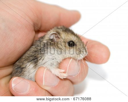 Hamster On Palm
