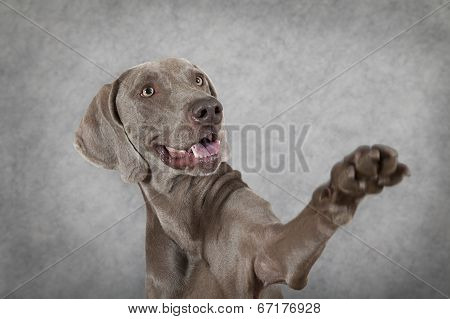 Shorthaired Weimaraner Dog Waving Hello
