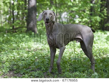Shorthaired Weimaraner Dog Outdoor
