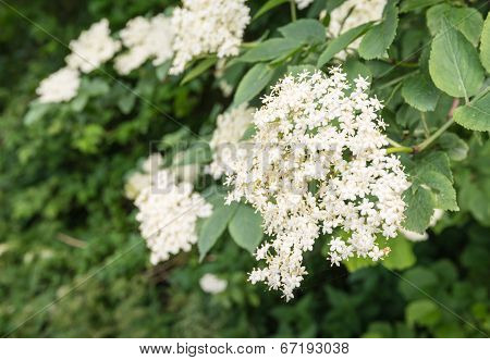 White Flowers Of An European Black Elderberry