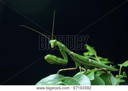 Spotted Praying Mantis
