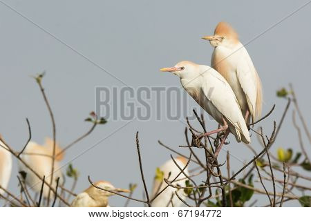 2 Cattle Egrets (bubulcus Ibis) Perched In A Nesting Colony