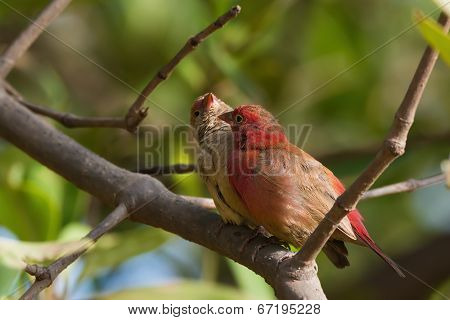 A Female Red-billed Firefinch (lagonosticta Senegala) Inviting A Male To Preen Her Neck