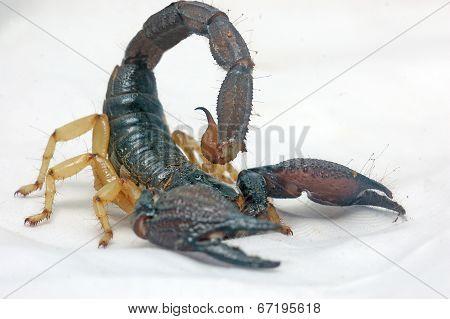 Heterometrus Scorpion