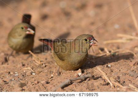 Female Red-billed Firefinch (lagonosticta Senegala) With A Grain Of Rice