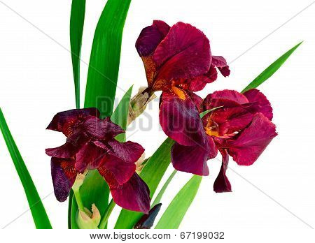 Bouquet Of Blossoming Irises On A White Background.