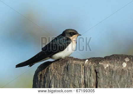 Wire-tailed Swallow Juvenile (hirundo Smithii) Perched On A Wooden Pole