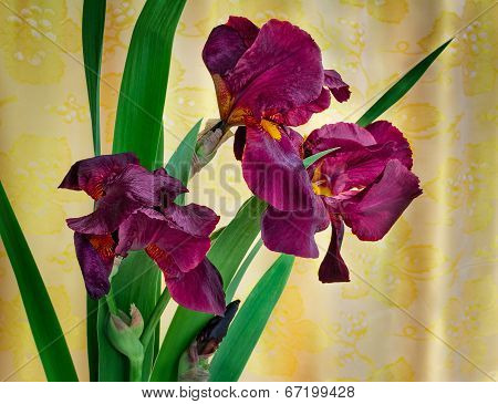 Bouquet Of Blossoming Irises Against The Draped Silk.