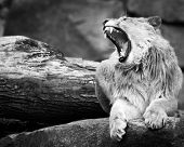 stock photo of growl  - A Profile Portrait of a Growling Lion