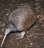picture of australie  - North Island brown kiwi Apteryx australis searching for food in New Zealand bush setting - JPG