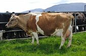 stock photo of lactating  - High production pedigree Jersey cow showing off udder attachment West Coast New Zealand - JPG