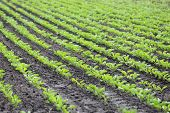 image of sugar industry  - Lines of growing of Sugar Beet on a field at summer - JPG