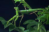 foto of tamil  - Spotted praying mantis on leaves in Tamil Nadu South India  - JPG