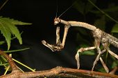 stock photo of tamil  - Brown stick insect from Tamil Nadu South India - JPG