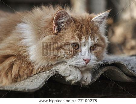 Ginger Kitten Lying On Slate