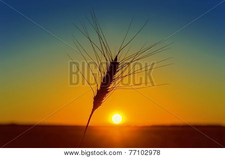 orange sunset and wheat ear on field
