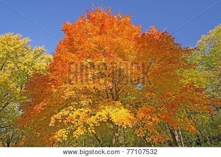 Orange And Yellow On An Autumn Tree