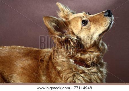 Italian Mongrel Dog 2473
