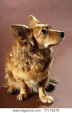 Italian Mongrel Dog 2438