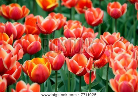 Some Tulips
