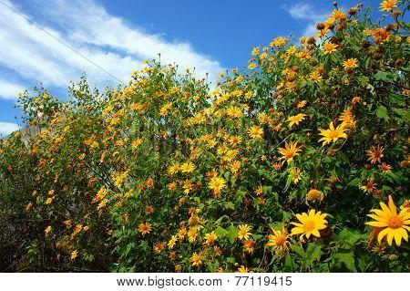 Da Quy Flower, Wild Sunflower