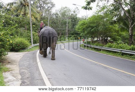 Elephant with mahout walks on the road