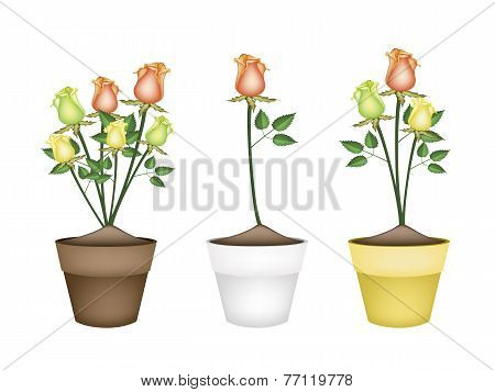 Yellow, Orange and Green Roses in Ceramic Flower Pots