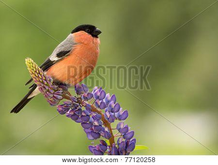 Flower Finch