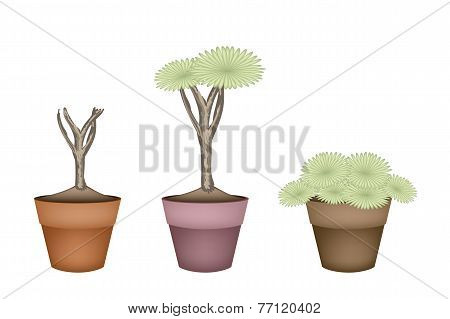 Three Dragon Tree in Ceramic Flower Pots