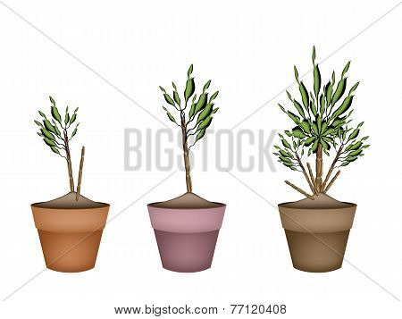 Yucca Tree and Dracaena Plant in Flower Pots