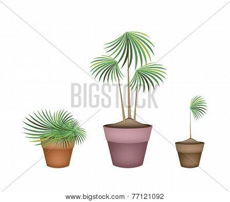 Lady Palm Tree in Ceramic Flower Pots