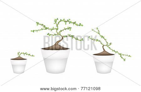 Three Masam Bonsai in Ceramic Flower Pots