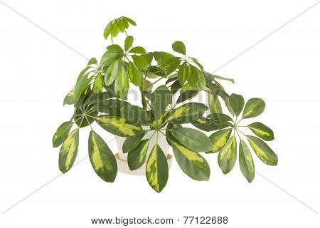 Houseplant of a shefflera