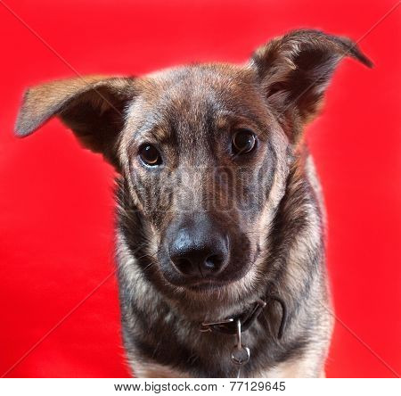 Gray Dog With Collar On Red