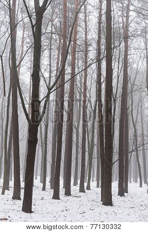 Misty Winter Woods At Morning